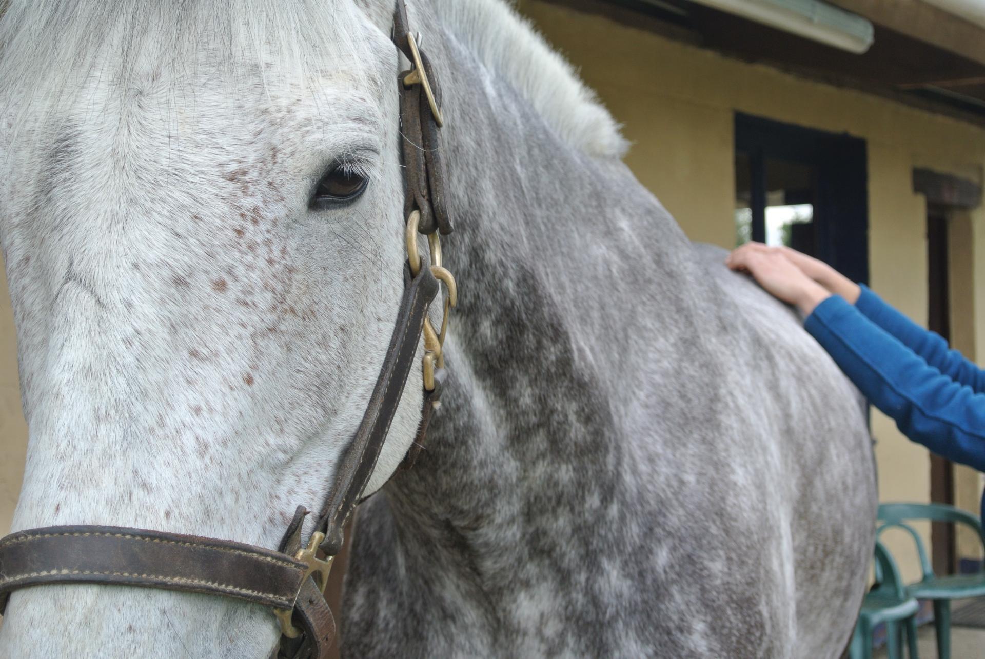 Emeline-moutiez-horsecare-algothérapie-massothérapie-shiatsu-lisieux-normandie-ile-de-france-massage-chevaux-chien-ane (34)