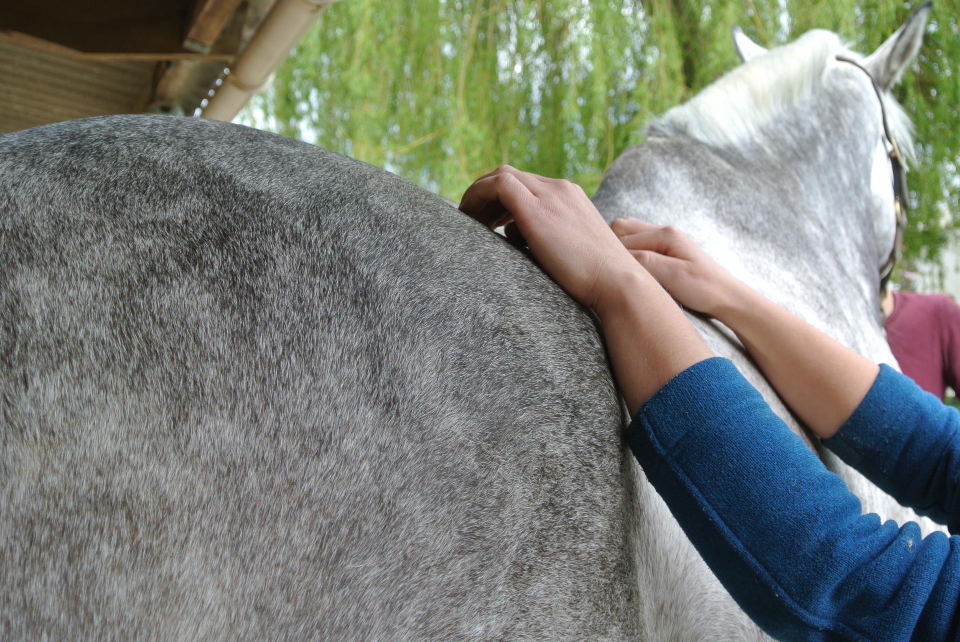 Emeline-moutiez-horsecare-algothérapie-massothérapie-shiatsu-lisieux-normandie-ile-de-france-massage-chevaux-chien-ane (39)